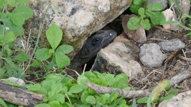 Iguana nest.