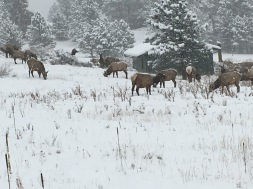 Elk Herd in Snow 2